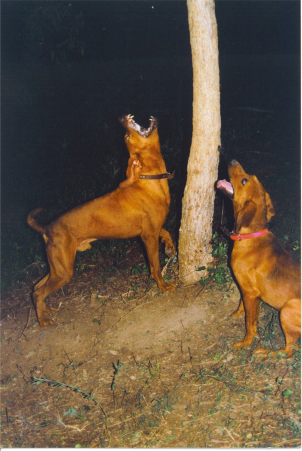 Treeing the gameRedbone Coonhound Treeing
